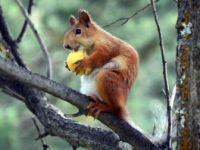 Sarıçam Ormanlarında Kayısı Yiyen Sincaplar Renkli Görüntüler Oluşturdu