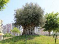 Bin 500 Yıllık Zeytin Ağacı Meyve Verdi