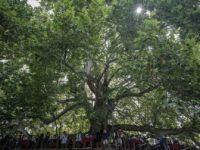 Altı Asırlık İnkaya Çınarı Bir Mahalleyi 'Besliyor'