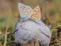 'Çok Gözlü Gök Mavisi' Kelebeği Göz Kamaştırıyor