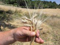 Siyez Buğdayının Ekim Alanları Yaygınlaştırılacak