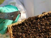 Propolis, Antibiyotiğe Gereksinimi Azaltıyor