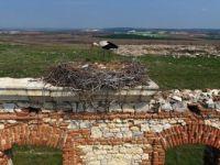 Tarihi Hastane Duvarının 'Mevsimlik Misafirleri' Gelmeye Başladı