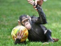 Şempanze 'Can' da İki Ay Aradan Sonra Yuvasından Çıktı