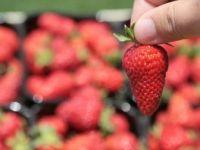Mayıs Ayında Fiyatı En Fazla Artan Ürün Çilek, En Çok Düşen Sivri Biber Oldu
