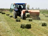 Yerli Tohumla Üretilen 'Süt Otu' Verimi Artırıyor