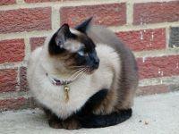 Bu kedi 9 yıl boyunca iki aileyi idare etti!