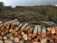 Amasra'da binlerce ağaç kesilecek!