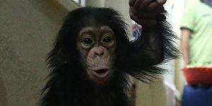 Şempanzeler  'Pipet' Yapıyor