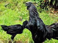 Altın Yumurtlayan Siyah tavuk