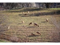 Köylüler Duyarlılık Gösterdi, Dağ Keçileri Tarlalara Kadar İndi