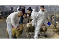 Şoksuz Hayvan Kesimi Yasaklanıyor