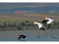 Amasya'da 'Pelikan Adası'