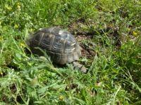 Bahçesinde Kaplumbağa Besliyor