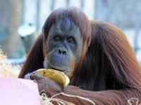 Orangutan Maimunah'ın 31'inci Doğum Günü