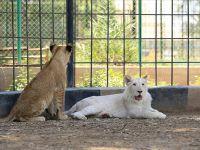 Bağdat'ın Nadir 'Beyaz Aslanı' hızla büyüyor!