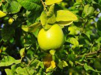 Limon Yağıyla daha temiz bir cilde kavuşmak mümkün!