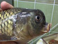 Sakarya'da Balıkçının oltasına takılan balık görenleri şaşırtıyor