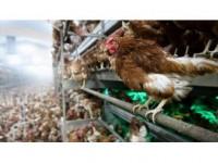 Canlı Hayvan İhracatını Tavuk Ve Horoz Sırtladı