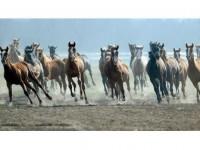 Safkan Arap Atlarının Yetiştirilme Merkezi Sultansuyu