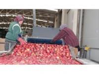 Rusya'ya İhracata Elma Ve Nar Katkısı