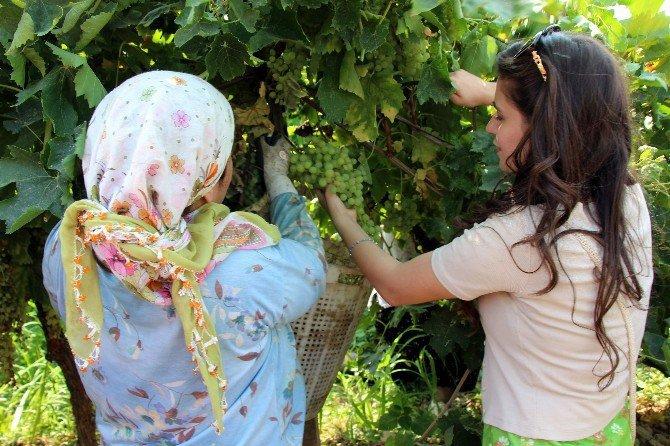 Siirt Ve Sinoplu Gençler Manisa'da Bağ Bozumu Yaptı