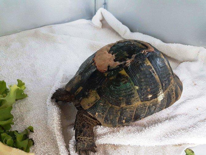 Samsun, Kızılırmak Kuş Cenneti'nde Yaralı Kaplumbağaya Estetik Operasyon