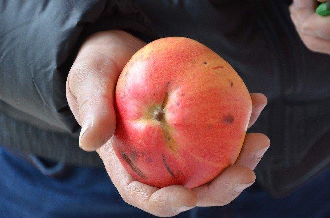 Ayva Olarak Alıp Diktiği Fidandan 7 Yıl Sonra Gelen Esrarengiz Meyve
