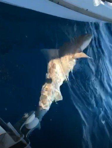 Kuşadası Körfezi'nde Köpekbalığı