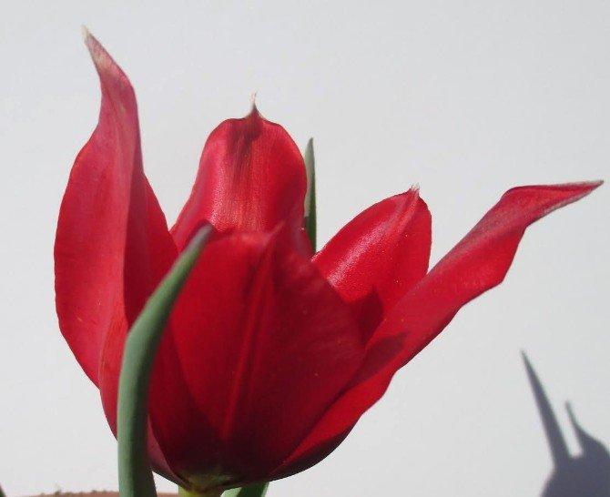 Samsun'da ; Bunlar Da Milli  Laleler : Kumru ve MUŞ1071