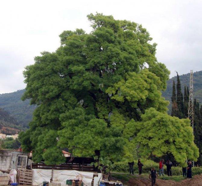 Kuşadası'nda 300 Yıllık Anıt Ağaç İçin Seferberlik