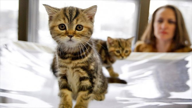 Kedilerin İnsanlarla bir arada olması 9 bin yıla dayanıyor